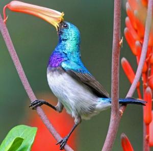 African blue bird
